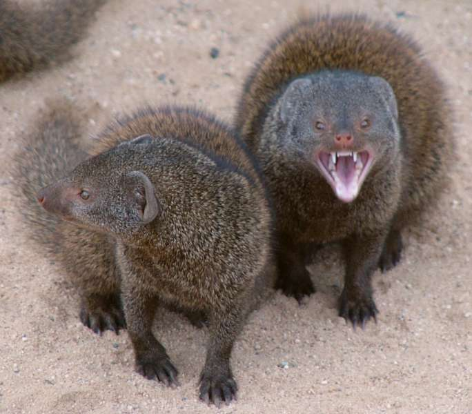 Mongoose   Snakes Woul...